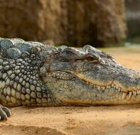 animal-animal-photography-crocodile-60644
